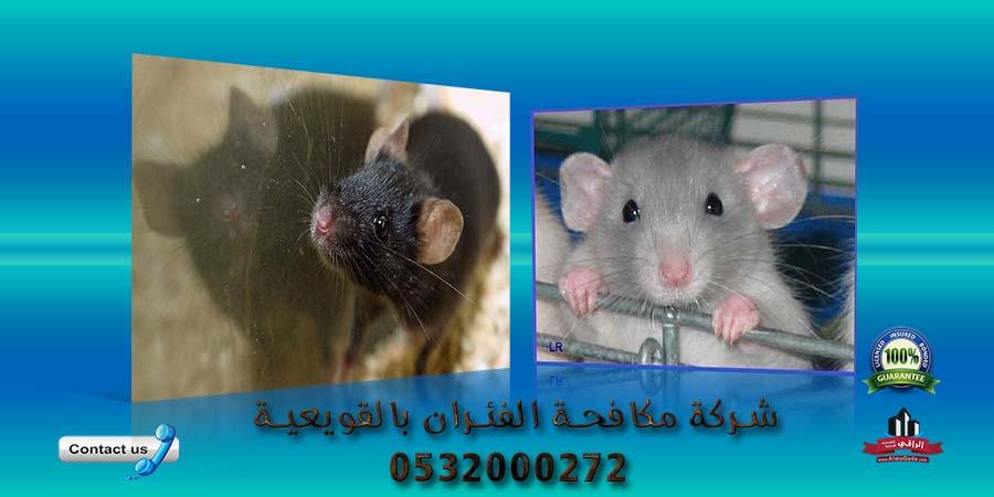 شركة مكافحة الفئران بالقويعية